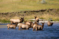 Elk Herd in the Gardiner River